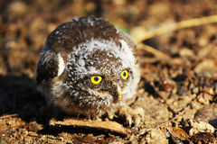 A owl sitting on ground Stock Images