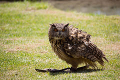 Owl is sitting on the ground, and hunting. Flying open flight raptor nominate European chordata display aves bill Bubo strong Largest winged beat green royalty free stock photography