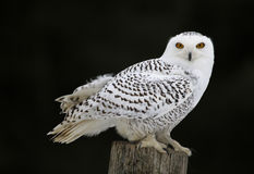 Owl Sitting nevado Imagem de Stock Royalty Free