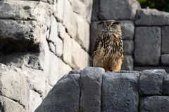 Owl sitting on rocks royalty free stock photos