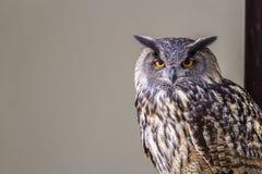 Owl sitting Stock Photos