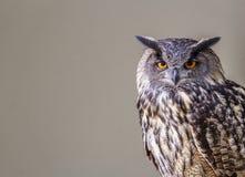 Owl sitting Stock Photography