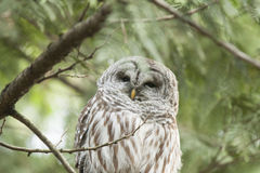 Owl Sitting Up In a Tree. A barred owl sits up in a tree looking up. A symbol for wisdom. Bc Canada Wildlife Royalty Free Stock Photo