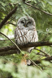 Owl Sitting Up In a Tree. A barred owl sits up in a tree looking up. A symbol for wisdom. Bc Canada Wildlife Stock Images