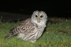 Owl Sitting in urban setting Royalty Free Stock Photo