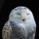 Owl sleep Stock Photo
