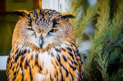 Owl, a sleeping eye in the afternoon Stock Images