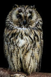 An owl Royalty Free Stock Photography