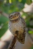 Curious funny Owl Royalty Free Stock Images