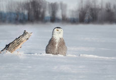 Owl in the snow. Snowy owl in nature during winter stock photography