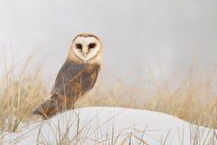 Owl on snow Royalty Free Stock Photo