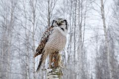 Owl, snow Finland. Nature of north Europe. Snowy winter scene with hawk owl, larch tree. Hawk Owl in nature forest habitat during. Winter royalty free stock photography