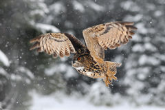 Owl with snow flake in snowy forest during cold winter. Eagle owl in the nature habitat, France. Action snowy scene with owl in. Forest stock photos