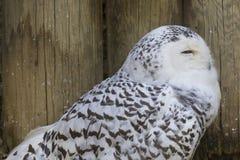 Owl snow in the mountains Royalty Free Stock Photos