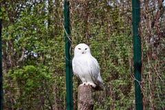 Owl Snowy Arkivfoto