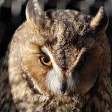 Owl 1 Stock Image