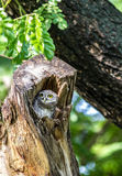 Owl (Spotted owlet) in cavities nature Stock Photos