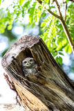 Owl (Spotted owlet) in cavities nature Royalty Free Stock Image