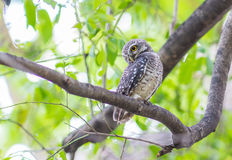 Owl Spotted owlet in nature Stock Photos