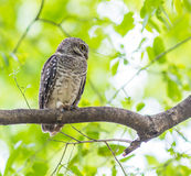 Owl Spotted owlet in nature Stock Image