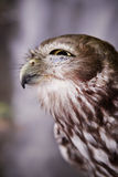 Owl Squinting. An owl squints as it looks out to the distance Stock Photos