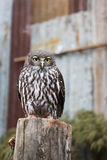 Owl. Stand on the wood along royalty free stock image