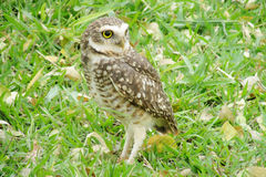 Owl standing on grass Royalty Free Stock Photography