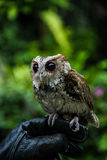 Owl standing on hand Stock Image