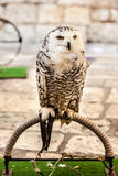 Owl standing Royalty Free Stock Image