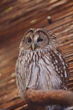Owl. A owl standing on a tree branch with brown background Royalty Free Stock Photos