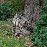 Owl staredown royalty free stock photo