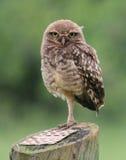 Owl staring. In the garden stock photos