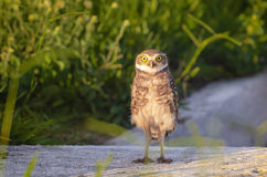 Owl Staring Stock Photos