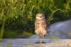 Owl Staring Stock Photos