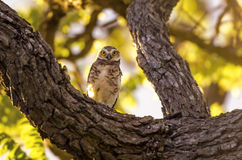 Owl Staring Stock Photography