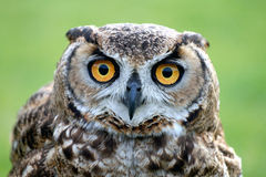 Owl staring. Owl head with eyes staring at you Royalty Free Stock Image