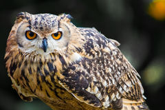Owl. Staring ahead with grey background Royalty Free Stock Images