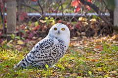 Owl Staring At Camera nevado Imagens de Stock Royalty Free