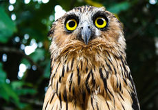 An owl staring in a mid day in borneo Stock Photography