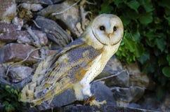 Owl staring Royalty Free Stock Image