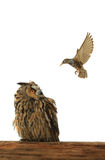 Owl and starling Stock Photo