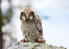 Owl on stone in the forest Royalty Free Stock Image