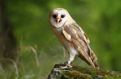 Owl on stone Stock Photography