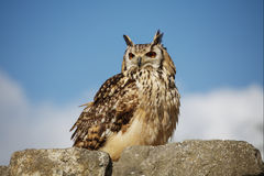 Owl on a stone wall. Owl sitting on a stone wall royalty free stock photo