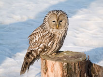 Owl on the stub Royalty Free Stock Image