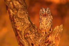 Owl during sunset Stock Photos