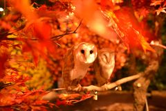 Owl is a symbol of wisdom. Here between the orange red leaves in Japan. Owl the symbol of wisdom stare at me between the red orange autumn leaves in Tokyo Japan Stock Photography
