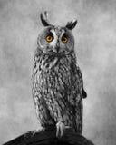 Owl With Textured Background Eared lungo africano Immagini Stock Libere da Diritti