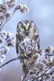 Owl on thistle Royalty Free Stock Photo