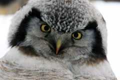 Owl tilted her head, looking into the camera, Northern Hawk Owl  (Surnia ulula), Stock Image